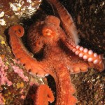 octopus.kathleen scuba diving nanaimo